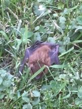 Bat in Grass